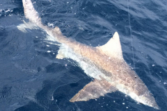 shark-fishing-first-city-fishing-charters